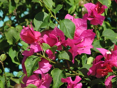 Bougainvillea (Terry Hassan) Tags: florida usa hollywood garden flower leaf leaves red green bougainvillea cemile iek