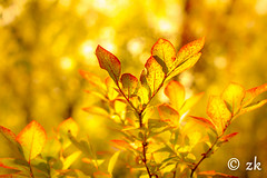 Turning Red ( ) Tags: foliage autumn fall leaves leaf red yellow plant orange light natural flare lensflare color bokeh closeup