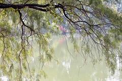 (Explored) (Maria Luiza S) Tags: lake lago tress rvores ibirapuera green