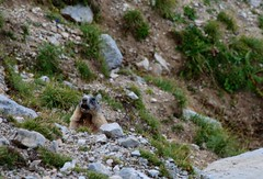 Murmeltier (chipmonk) Tags: 2016 alpen austria tirol murmeltier marmot