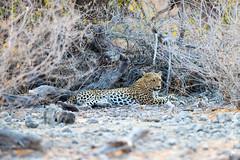 DSC_4297.JPG (manuel.schellenberg) Tags: namibia etosha animal nationalpark leopard