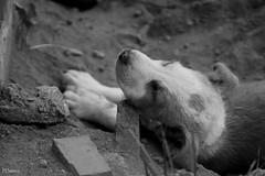 Sueos (sierramarcos14695) Tags: sony a58 explorando ciudad belleza urbano quetzaltenango guatemala monocromatico blanco negro perro dog mascota callejero descanso sueo cachorro minolta rokkor