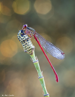 red horse, ceriagrion tenellum