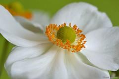 Anmone du Japon (Jourdheuil Clment) Tags: anmonedujapon flowers tamine ptaleblanche nikond7100 pistil offemont franchecomt macrophoto softness douceur bokeh bokehflou whitepetal