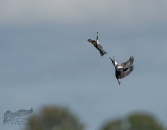 Belted Kingfisher wars 9_17 (krisinct- Thanks for 12 Million views!) Tags: nikon d500 500 f4 vrg