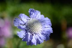 Alnwick Castle Gardens (Simon Caunt) Tags: scabeous nikond800 d800 afsnikkor2470mmf28 closeup bokeh flora floraandfauna vivid