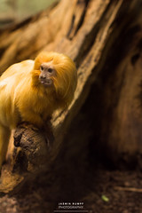 golden boy (water wasser) Tags: zoofrankfurt zoo ffm frankfurtammain animals wildlife nature