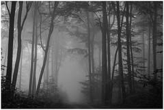 beeches (Rainer Schlepphorst) Tags: germany brandenburg forest beechforest buchen buchenwald nebel fog autumn nikond700 barnim