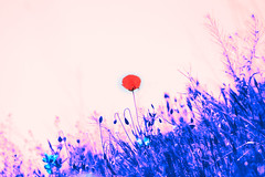 Lindezas (KARNATION) Tags: karnation amapola floral flower campo campia