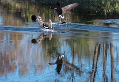 Splashdown! (maytag97) Tags: goose geese flight landing water reflection maytag97 waterfowl bird birds pond river tamron 150 600 150600