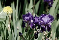 Was gibst du denn, o meine Seele (amras_de) Tags: blte blume flor cvijet kvet blomst flower floro is lore kukka fleur blth virg blm fiore flos iedas zieds bloem blome kwiat floare ciuri flouer cvet blomma iek
