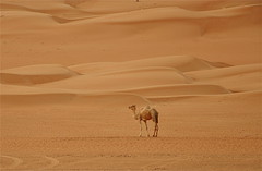 Master of the Dunes (The Spirit of the World) Tags: landscape sand desert wildlife middleeast camel oman sanddunes desertlandscape wahibasands desertscene arabianpeninsula wildlifeportrait rememberthatmomentlevel1 rememberthatmomentlevel2 rememberthatmomentlevel3