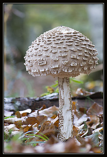 Macrolepiota procera - Galanperna