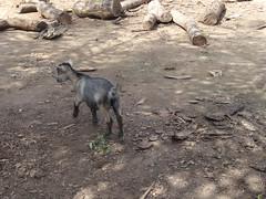 (hanna.ghana2014) Tags: nature village goat ghana sit senkyi