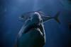 Ragged Tooth Shark #1 (JDurston2009) Tags: plymouth raggedtoothshark greynurseshark nationalmarineaquaium