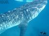 Tuki Ulit (rigel4taleza) Tags: whaleshark butanding oslob