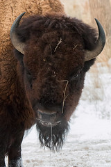 Serious Looking Bison