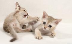 Singapura Kittens 56 (peter_hasselbom) Tags: cats cat 50mm fight brawl kitten play flash kittens onwhite singapura 8weeksold twocats 2cats 2flashes 2kittens