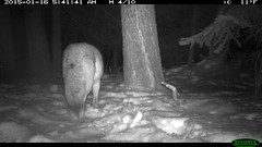 Coyote in the Back of the Preserve (4/29) (Aspen Center for Environmental Studies) Tags: coyote camera mammal colorado wildlife cam canine trail aspen aces carnivore omnivore trailcamera trailcam cameratrap wildlifecamera aspencenterforenvironmentalstudies