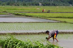 Rice Farm-20140801-IM3P0429 (IlocosNorte) Tags: travel tourism farm philippines farming farmer agriculture ricefields mid foodphotography ilocosnorte yummymagazine mediaincentivesdesk