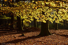 Autumn leaves (Cor de Hamer (www.cordehamer.nl)) Tags: autumn fall colors leaves forest woods herfst bos veluwe speulderbos speuld