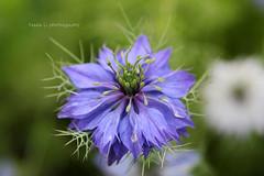 Nigella starring (grce) Tags: plant flower macro nature garden petals flora bokeh nigella loveinamist nigelladamascena
