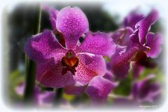 Remain In Me (J316) Tags: flowers purple orchids bright jesus fresh gaussian tropicalflowers fruitful j316 john1516 remaininme john157