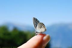 Même pas peur ! Courageux petit Azuré commun ou Azuré de la Bugrane (Polyommatus icarus) .Even not fear! Brave small Blue Argus. (Annelise LE BIAN) Tags: closeup suisse bleu animaux blanc insectes papillons polyommatusicarus azurédelabugrane azurécommun