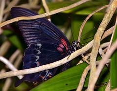 ~ hidden beauty ~ (xela2013) Tags: nature butterfly nikon natur sigma schmetterling photoscape botanischergartenlinz nikond5100