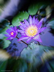 Purple Lotus (chaoticbusher) Tags: street abstract motion blur flower detail macro heritage temple photography singapore exposure raw close lotus zoom olympus petal trail filter single crop effect vignette m43 mirrorless epl6