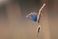 IMG_7791 (adrien.pcctt) Tags: papillon insecte argusbleu