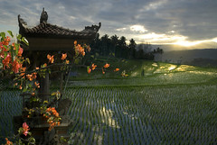 5074 Bougainvillea and rice fields--Bali , Indonesia (ngchongkin) Tags: bali indonesia coolshot powerofphotography earthasia wonderfulasia buildyourrainbow photographyforrecreation terracepaddyfields