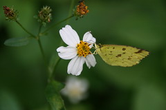 Chocolate Grass Yellow (Eurema sari sodalis) (martynwhit) Tags: macro nature japan butterfly insect photo asia outdoor wildlife butterflies insects photograph macrophotography entymology outdoorphotography