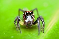 Red and Green Jumper (#3) (Doundounba) Tags: macro topf25 mexico spider pentax mexique rivieramaya jumpingspider araigne k3 272e salticidae raynox thiodina salticide msn202 grandsirenis mayanbeach tamronspdi90mmf28 35ormorefaves