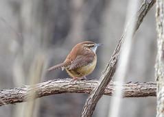 Carolina Wren (# 44) (Amy Hodson) Tags: nature birds wildlife birding indiana wren