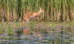 Chinese Water deer (The Rustic Frog) Tags: camera nature water canon reeds lens eos wildlife chinese reserve deer edge waters broad fen 100400mm leaping titchwell strumpshaw 60d