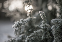 Fir needles with morning frost (Storkholm Photography) Tags: winter snow cold tree ice nature backlight 50mm focus frost dof sweden bokeh depthoffield scandinavia conifers 50mmf14 d610 nikkor50mmf14 mariefred södermanland firneedles rimfrost niikon nikon50mmf14