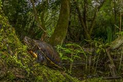 Nel sottobosco/ Undergrowth (Riccardo Cavalcante) Tags: grande natural turtle reserve swamp species endangered ghiaia reptiles undergrowth iucn emydidae emys orbiculars