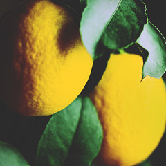 023 • 365 • IV (Randomographer) Tags: food plant tree green leaves yellow fruit project garden photography lemon crossprocessed natural acid grow delicious hanging 23 citrus 365 organic sour edible limone 023 ripe limon citric nutritious project365 لیمو rslphotographics