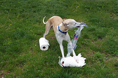 Paper Towel Destruction (DiamondBonz) Tags: dog pet grass paper hound whippet destroy spanky dogchal
