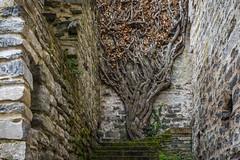 hiedra (Juan Ig. Llana) Tags: convento euskadi escaleras hiedra jardnbotnico ramas lava santacatalina trespuentes leoso