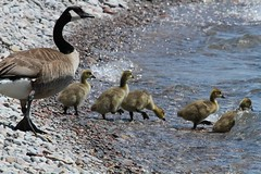 Taking the Kids for a Swim (praja38) Tags: life wild baby lake ontario canada nature water swim geese bill wings wildlife wing beak feathers feather canadian goose chicks gosling waterfowl downy canadagoose darlingtonprovincialpark