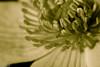Rentukka / Kingcup (Varjokuvia) Tags: ruissalo marshmarigold 2016 calthapalustris kingcup rentukka