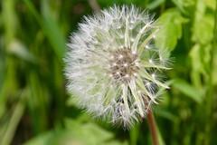 IMG_7994 (kween_beek) Tags: nature wisconsin outdoors weed dandelion wish wildflower wi