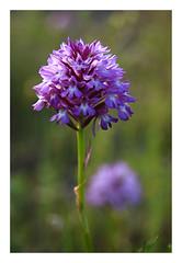 AMAPANTYSPIRAMIDALIS (Mari Ivars) Tags: flores color pastel flor desenfoque campo orquidea silvestre suave piramidalis