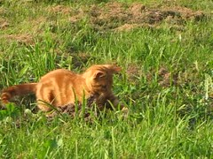 Benji is playing and then Sunny has to check everything out (elisabeth.mcghee) Tags: katzen kater ktzchen