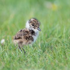 hello world (robvanderwaal) Tags: bird nature netherlands birds nederland vogels natuur chick vanellusvanellus kievit northernlapwing vogel jong kuiken 2016 pul tiengemeten28082011 rvdwaal robvanderwaalphotographycom