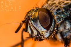 fly ( ID needed please ) - 105mm macro (ben.scalf) Tags: ohio nature bug fly nikon outdoor cincinnati wildlife science micro dslr biology d3200 flickrunitedaward