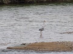 Grey heron () (Greg Peterson in Japan) Tags: birds japan wildlife rivers shiga jpn moriyama shigaprefecture egretsandherons yasugawa rittocity