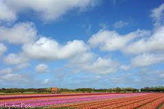 holland-ze-zeggen (Don Pedro de Carrion de los Condes !) Tags: regenboog clouds tulips wolken zeeland lucht bol bewolkt blauwe bloemen controle noordwijk tulpen kleurrijk bloem laag donpedro zuidholland kleur koppen tulp onderhoud platteland voorjaar bollenveld bollenstreek bloemenpracht tulipfields bollenvelden toeristen tulpenvelden tulpenveld landbouw toerisme bezienswaardigheid agrarisch veelkleurig bloembollen kwekerij rijen maaien kweker wolkenlucht standpunt bloemenzee bolgewas geestgronden d700 tulpenbol bollenteelt agricultuur teelt toeristenattractie bloembollenteelt bollenbedrijf onderhouden bollenboer duinerij bollenkweker bollenkwekerij exportartikel bollensector